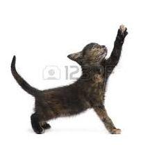 Image result for english tortoiseshell cat