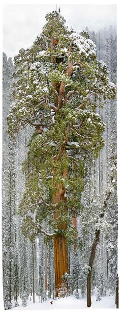 World's 2nd tallest tree, Sierra Nevada, California. The 3,200-year-old giant sequoia called the President rises 247 feet. That little spec on the bottom left of the trunk is a person.