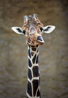 Giraffe Kiringo stands in his enclosure on March 8, 2013 at the zoo in Duisburg, western Germany. Kiringo is the father of a 1,70 meters tall male baby giraffe that was born during the night to March 5, 2013 at the zoo.      AFP PHOTO / BERND THISSEN #animals
