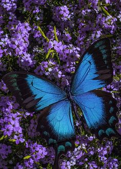 Blue Butterfly On Pink Flowers by Garry Gay