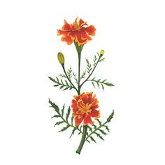 Orange Marigolds Watercolor Botanical Painting by Anne Butera of My Giant Strawberry