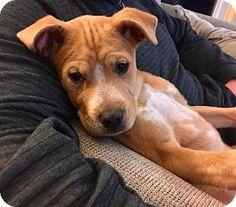 Fort Wayne, IN - Boxer/Labrador Retriever Mix. Meet Boomer, a puppy for adoption. http://www.adoptapet.com/pet/17807180-fort-wayne-indiana-boxer-mix