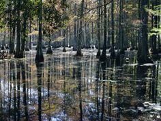 Google Image Result for http://cache2.artprintimages.com/p/LRG/22/2273/RDDID00Z/art-print/james-green-cypress-swamp-cypress-gardens-north-charleston-south-carolina-usa.jpg