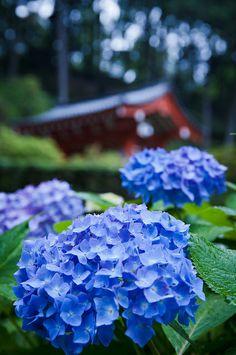 Hydrangeas in the rain, Mimuroto-ji Temple, Kyoto, Japan Flowers Nature, Fresh Flowers, Blue Flowers, Beautiful Flowers, Beautiful Pictures, Hydrangea Flower, Hydrangea Garden, Hydrangeas, Japan Garden
