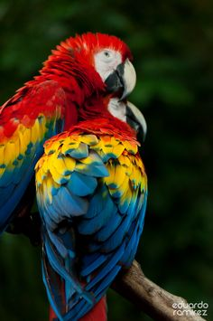 So vibrant! Too bad we'd have to go all the way to Guacamayas, Cancun, Mexico to see these beauties in the wild.