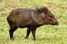 10 American Animals You Don't Know - Listverse Animals Of The World, Animals And Pets, Wild Animals, Red River Hog, Texas Animals, North And South America, Central America, American Animals, Cat Boarding