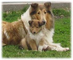 Collies - -I've loved them ever since Lassie :)