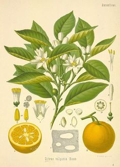 A lovely vintage lemon fruit and plant botanical drawing.
