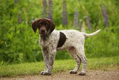 White Pointer Dog | Pointer Dog and Puppy Picture, New Dog Funny Pet Pictures | Dogs ...