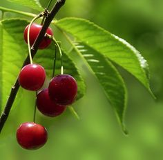 Red cherries on the branch.
