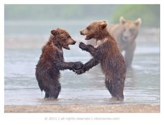 Oh, baby bears? May they never grow up!