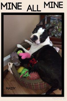Our Boston Terrier loves her toys!