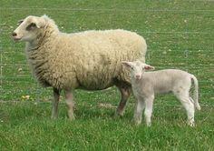 Ewe Animal Related Keywords & Suggestions - Ewe Animal Long Tail Keywords