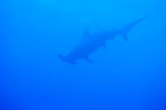 Hammerhead Shark! at Kumejima,Okinawa