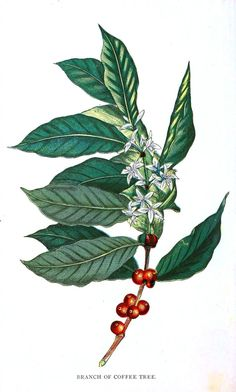 coffee plant For coffee day, enjoy some botanical illustrations of Coffea arabica along with your cup o Joe. Illustrations from: Presented with compliments of Chase amp; Sanborn The flora homoeopathica. Coffee Drawing, Coffee Painting, Coffee Illustration, Plant Illustration, Coffea Arabica, Coffee Flower, Coffee Tattoos, Plant Tattoo, Coffee Plant