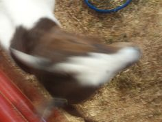 PT JULY 2014 CANYON COUNTY FAIR. GOAT OUT OF FOCUS.