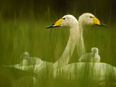 Whooper Swan Family Photograph by Stefano Unterthiner, National Geographic Wildlife Photography, Animal Photography, Amazing Photography, Beautiful Birds, Animals Beautiful, Beautiful Creatures, Beautiful Things, Baby Animals, Cute Animals