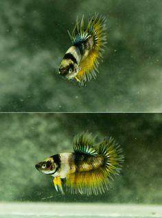 Tiger Mustard Gas #betta #fish