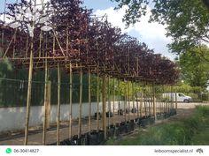 Voordelige leibomen bij Van Den Akker Bomen in Oirschot - Leiboomspecialist.nl Prunus, Vineyard, Outdoor, Outdoors, Vine Yard, Peach, Vineyard Vines, Outdoor Games, Outdoor Life