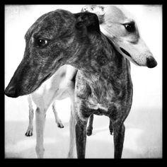 Greyhound beauties