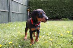 Doberman...I have one of these, & he's adorable!!!
