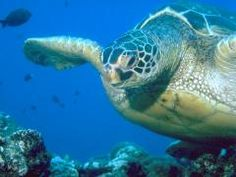 Home to the endangered Hawaiian Green Sea turtle, the beaches of Hawaii are often home to these wonderful animals as they bask in the sun. Please do not touch or approach the honu (turtles) as it is illegal, but appreciate them from a distance.  www.allabouttravel.org
