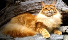 War Kite - Maine Coon http://www.mainecoonguide.com/what-is-the-average-maine-coon-lifespan/