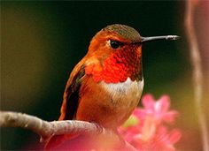 The feistiest hummingbird in North America. The brilliant orange male and the green-and-orange female, Rufous Hummingbird are relentless attackers at flowers and feeders, going after (if not always defeating) even the large hummingbirds of the Southwest, which can be double their weight.