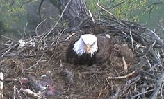 Live bald eagles nest in Decorah, IA. Three chicks have hatched as of 4/1/12. Watch live.
