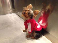 My Yorkie in Red Hoodie!!! How cute!!!