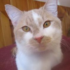 Hesper - WOW! A VERY COOL CAT!! is an adoptable Domestic Short Hair - Orange And White Cat in Wilmington, MA. Thankyou for visiting Hesper's  profile.   Hesper  has won the hearts of many  in the grou...
