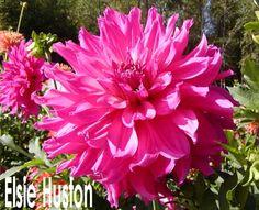 Elsie Huston - A  (Large 8-10 inch blooms)
