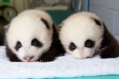 Time-Lapse Video of Baby Giant Panda Twins' First 100 Days