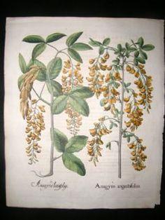 Besler 1613 LG Folio Hand Col Botanical Print. Anagyris Angustisfoliis, Laburnum