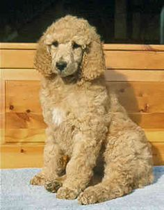 You will be mine one day <33 standard poodle