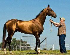 AHAL TEKE ATI;  Ahal Teke atı bir Türkmen atıdır. Araştırmacılar Ahal Teke atını, 3000 yıl evvel insanlar tarafından ilk evcilleştirilmiş olan at türü olarak görürler. Orta Asya'da Türk halkları arasında özellikle Türkmenistan'da yaygındır. Ahal Teke'nin adı Manas ve Dede korkut gibi Türk destanlarında geçer ve Türkmenistan'ın Ahal vilayetinde yaşayan Teke Türkmenlerinden gelmektedir.