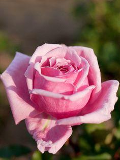 Floribunda Rose: Rosa 'Yua' (Japan, 2011) - Rosas cor-de-rosa: gratidão, agradecimento, o feminino (muitas vezes aparece simbolizando o útero em algumas culturas, como o gineceu está para a cultura ocidental - ver cor-de-rosa)