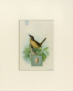 1898 House Wren Antique Bird Print Matted by AntiquePrintBoutique