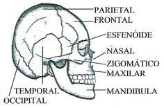 29 mejores im u00e1genes de axial skeleton