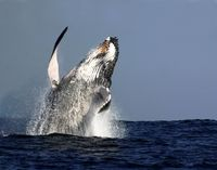 Sydney Whale-Watching Cruise Including Lunch #whalewatching #sydney