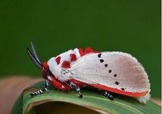 """Found in the rainforests of South America, the Trosia is a very distinctive and easily recognizable moth. Looks like you could also call it the """"Santa Claus"""" moth!  Photo credit: Emir Filho"""