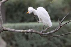 Cattle egret #Cattle_egret - Le Parc Ornithologique de Pont de Gau. #Birdwatching Birdwatching, Animals, Bridge, Animales, Animaux, Animal, Animais, Birds