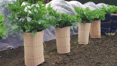 Zeler je chutný, má množstvo vitamínov a príjemne vonia. Na to, aby v záhradke dorástol k vašej spokojnosti, vyžaduje splnenie niekoľkých základných podmienok. Celery, Vegetables, Plants, Gardening, Lawn And Garden, Vegetable Recipes, Plant, Veggies, Planets