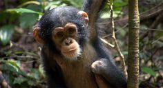 Chimpanzee - recension på Blu-ray:  http://www.senses.se/recension-chimpanzee-verkligeheten-ovetraffar-dikten-blu-ray/