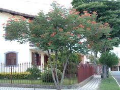 Dwarf Poinciana, Pride of Barbados; Caesalpinia pulcherrima