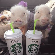 Meet Priscilla And Poppleton: The Mini-Pigs With Mega-Style. I'm In Love. • BoredBug