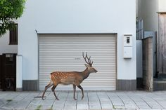 The city of Nara, Japan has a population of more than 300,000 people and more than 1,000 deer. They're everywhere (they've been known to take over entire streets), generally harmless and revered by the locals. Yoko Ishii documents the deer's quiet wanderings in dreamy, almost surreal photos of wildlife in the last place you'd expect to see it.…