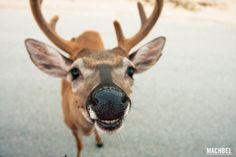 """¿A que los ciervos son de los animales más riquiños que hay? Y no me refiero a la parrilla, si no viéndolos corretear por el bosque, el monte, o incluso por la playa, como ocurre en Florida con estos """"bambis"""" tan curiosos, los llamados ciervos de los cayosoKey Deers(Odocoileus virginianus …"""