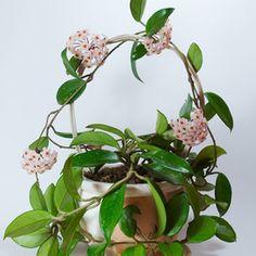 Hoya Carnosa Plant Care
