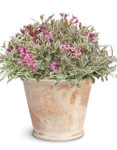 """My Monet Weigela has variegated foliage and will only reach 18"""" in height. Perfect for the front part of your landscape, or a container on your patio. Deer resistant too. Small Garden Plans, Garden Design Plans, Yard Design, Small Flower Gardens, Small Flowers, Container Gardening Vegetables, Container Plants, Dwarf Plants, Lavender Garden"""